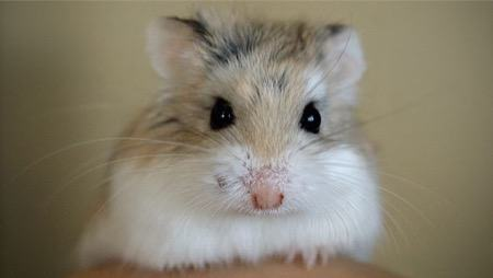 hamster on a piano song