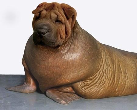 dog walrus