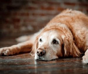 calm old dog